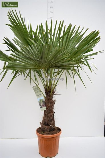 Trachycarpus fortunei - stam 50-60 cm - totale hoogte 160-170 cm - pot Ø 40 cm [pallet]