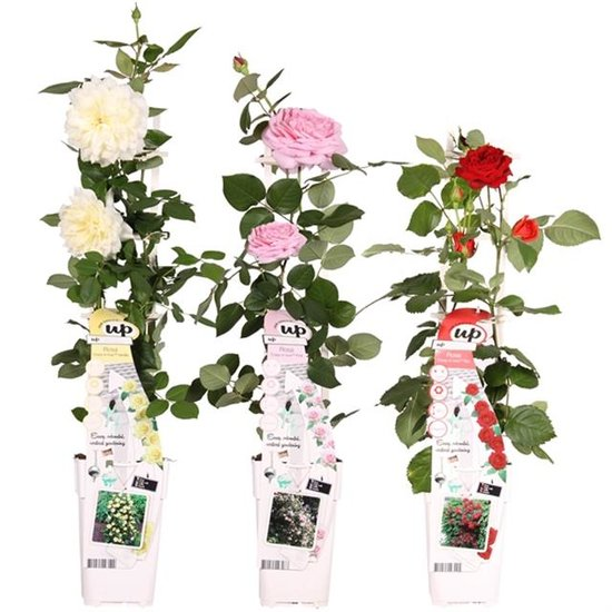 Rosa Crazy in Love climbers 2 ltr