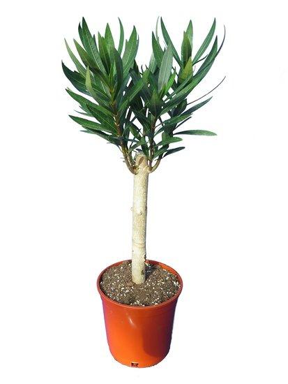 Nerium oleander wit - stam 20-30 cm - totale hoogte 50-70 cm - pot Ø 17 cm