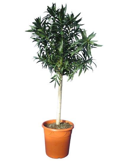 Nerium oleander wit - stam 70-90 cm - totale hoogte 170-190 cm - pot Ø 40 cm [pallet]