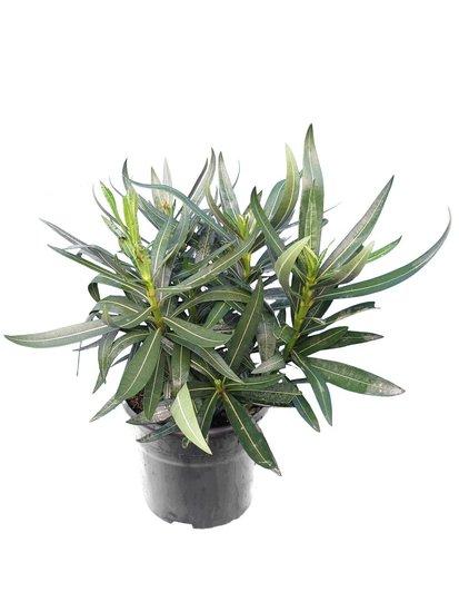 Nerium oleander Tricolor - total height 40-50 cm - pot Ø 18 cm