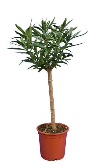 Nerium oleander dieproze- stam 40-50 cm - totale hoogte 80-100 cm - pot Ø 22 cm