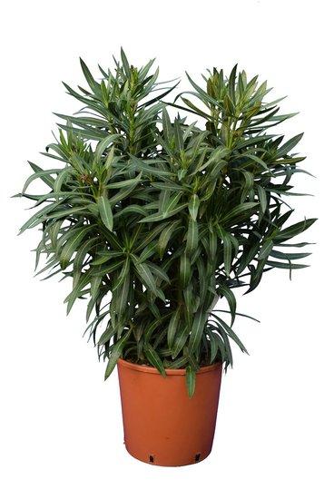 Nerium oleander wit - totale hoogte  100-120 cm - pot Ø 30 cm