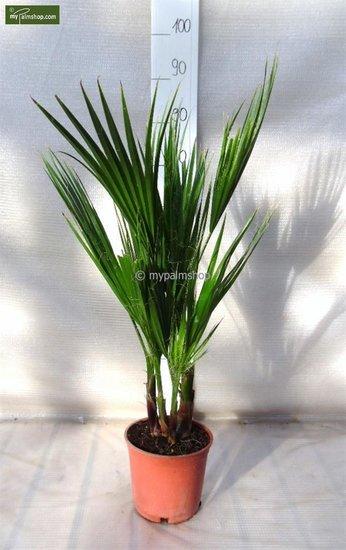 Washingtonia robusta Multistam - totale hoogte 70-90 cm - pot Ø 18cm