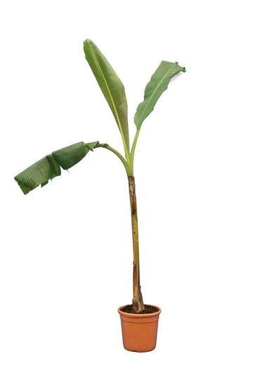 Musa Dajiao Fat trunk pot Ø 24 cm