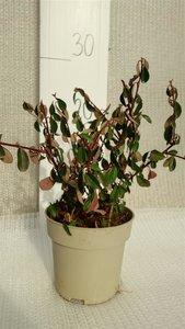 Cotoneaster dammeri Eichholz