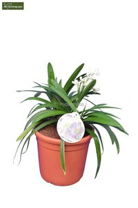 Agapanthus africanus White Ø 24 cm pot