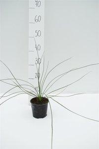 Dasylirion longissimum pot Ø 13 cm