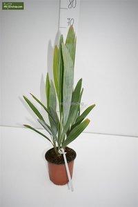 Acoelorraphe wrightii 50-60 cm