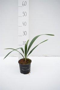 Sabal bermudana pot Ø 13 cm