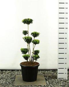 Buxus sempervirens multiplateau 100-125 cm
