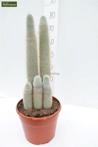Cleistocactus strausii pot: Ø 32cm