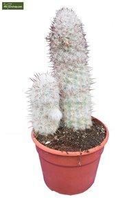 Oreocereus trolli Ø 30 cm pot