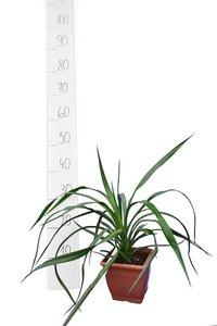 Yucca aloifolia - totale hoogte 35-45 cm - pot 14x14 cm
