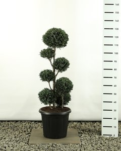 Chamaecyparis lawsonia Columnaris multibol extra totale hoogte 100-125 cm
