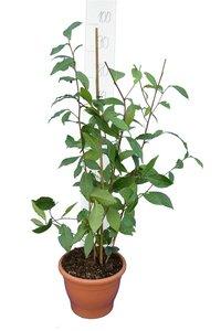 Camellia chinensis pot Ø 23 cm totale hoogte 80-100 cm