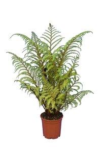 Cyathea tomentosissima Highland Lace pot Ø 22 cm