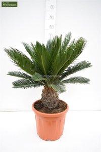 Cycas revoluta stam 15-25 cm