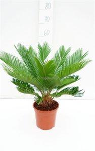 Cycas revoluta pot Ø 18 cm - total height 60-80 cm
