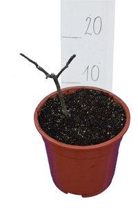Ficus carica Sp. Goutte d'or