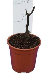 Ficus carica Sp. Précoce de Dalmate