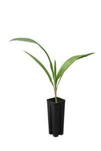 Syagrus romanzoffiana sp. Santa Catarina - totale hoogte 40+ cm - pot 0.7 ltr