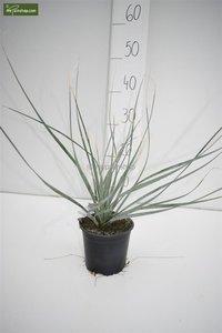 Dasylirion wheelerii - totale hoogte 30-40 cm - pot Ø 13 cm