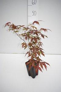 Acer palmatum Atropurpureum donkerpaars - totale hoogte 30-40 cm - 9x9 cm pot