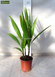 Washingtonia robusta Multistam - totale hoogte 50-70 cm - pot Ø 15cm