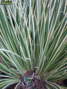 Acorus gramineus Argenteostriatus - totale hoogte 30-40 cm - pot 2 ltr