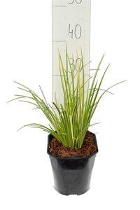 Acorus gramineus Ogon - totale hoogte 30-40 cm - pot 2 ltr