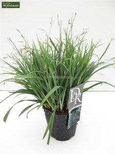 Carex laxiculmis Bunny Blue - totale hoogte 40-50 cm - pot 2 ltr