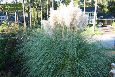 Cortaderia selloana Pumila - totale hoogte 40-50 cm - pot 2 ltr