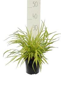 Hakonechloa macra Allgold - totale hoogte 30-40 cm - pot 2 ltr