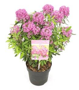 Kalmia angustifolia Rubra - totale hoogte 30+ cm - pot Ø 15
