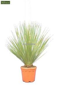 Dasylirion serratifolium pot Ø 32 cm