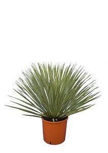 Yucca rostrata - set van 3 - totale hoogte 70-90 cm pot 26 cm