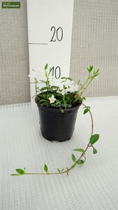 Vinca minor Alba - pot Ø 11 cm