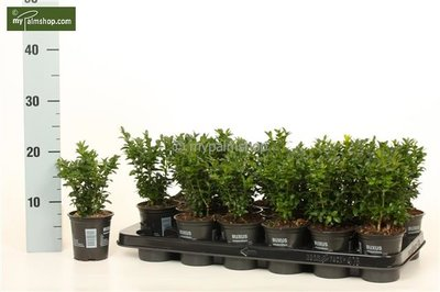 Buxus sempervirens Haag - totale hoogte 15-25 cm - pot 0,5 Ltr.