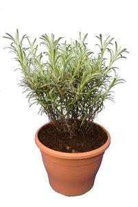 Helichrysum italicum Serotimum - pot Ø 17 cm