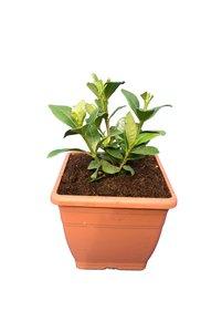 Gardenia jasminoides Kleim's Hardy - pot 14 x 14 cm