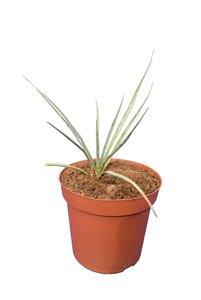 Yucca thompsoniana - pot Ø 14 cm