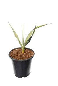 Yucca rupicola - pot 15 cm