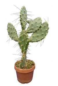 Opuntia anacantha - totale hoogte 70-90 cm - pot Ø 26 cm