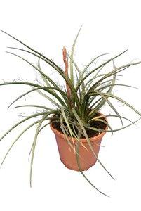 Hesperaloe parviflora - totale hoogte 50-70 cm - pot Ø 26 cm