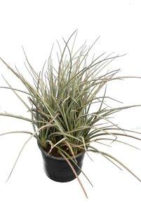 Hesperaloe parviflora - totale hoogte 60-80 cm - pot Ø 28 cm