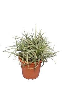 Puya venusta - totale hoogte 40-50 cm - pot Ø 26 cm