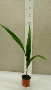 Syagrus romanzoffiana sp. Santa Catarina - totale hoogte 70-90 cm - pot Ø 14 cm