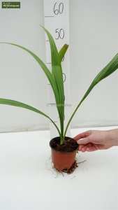 Sabal palmetto - totale hoogte 30-50 cm - pot Ø 13 cm