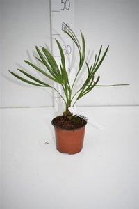 Serenoa repens - totale hoogte 20-30 cm - pot Ø 13 cm